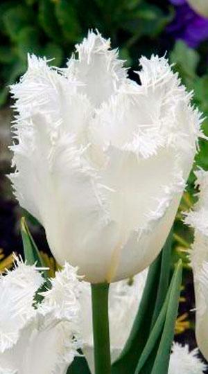 Tulip-Cambridge1