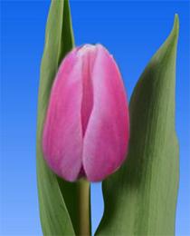 Tulip-Capri-Dream