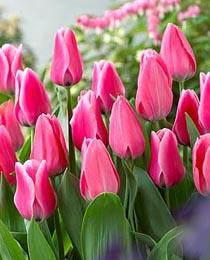 Tulip-Capri