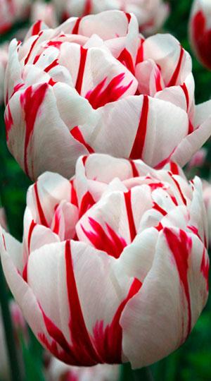 Tulip-Carnaval-de-Nice1
