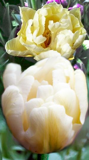 Tulip-Casablanca