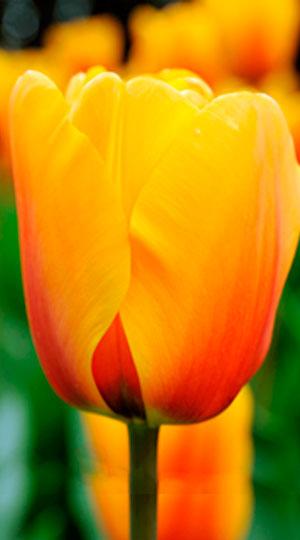 Tulip-Cash1