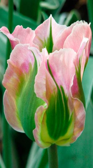 Tulip-China-Town