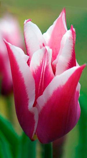 Tulip-Claudia