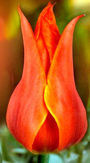 Tulip-Cobra1