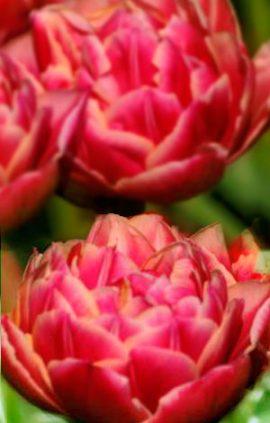 Tulip-Columbus