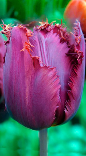Tulip-Curly-Sue1