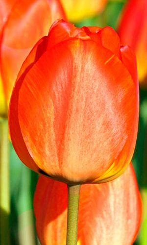 Tulip-Darwi-Orange1
