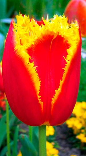 Tulip-Davenport1
