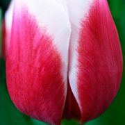 Tulip-Dutch-Design1