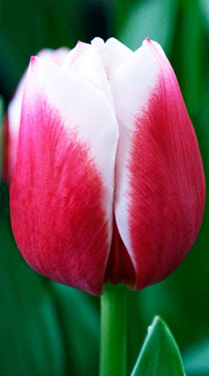 Tulip-Dutch-Design1