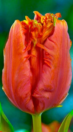 Tulip-Ego-Parrot1