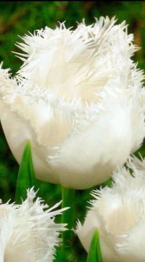 Tulip-Estafette-e1402400348674