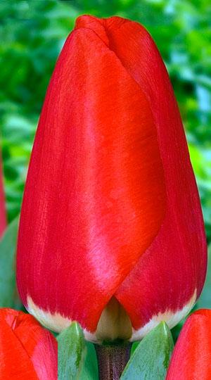 Tulip-FOSTERY-KING