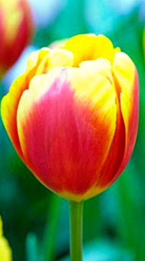 Tulip-Falcon