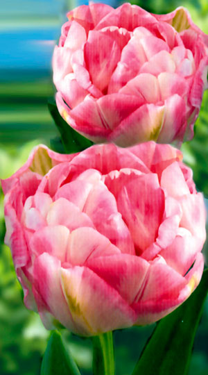 Tulip-Finola