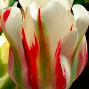 Tulip-Flaming-Springgreen