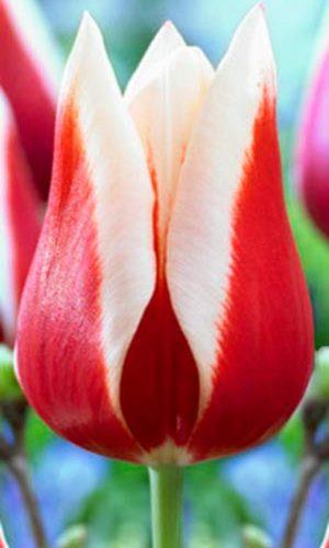 Tulip-Full-House