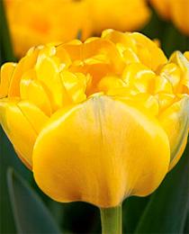 Tulip-Gironde