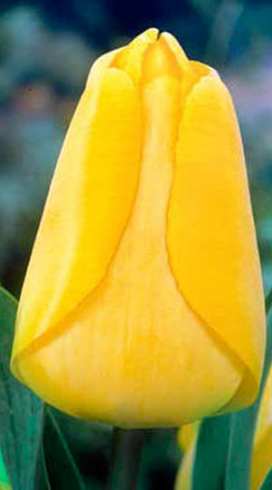 Tulip-Golden-Apeldoorn