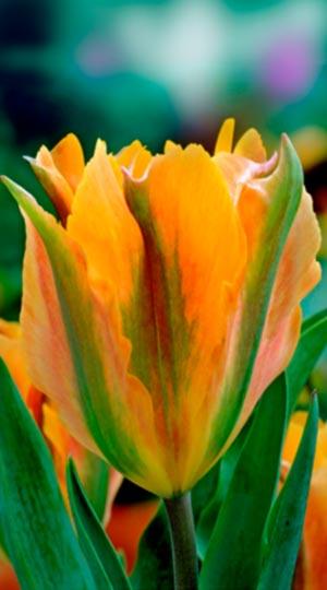 Tulip-Golden-Artist