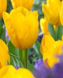 Tulip-Golden-Tycoon