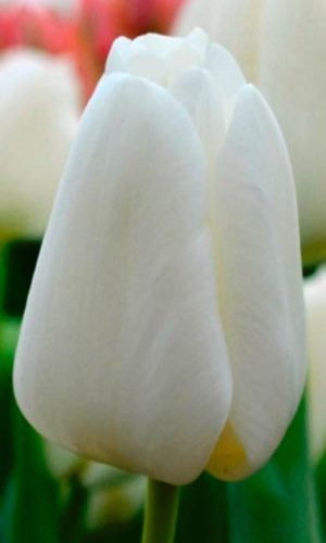 Tulip-Holland-Snow1