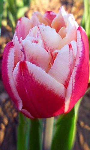 Tulip-Horizon