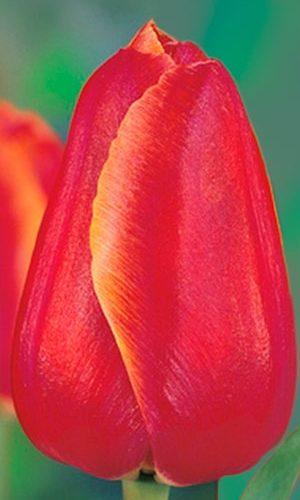 Tulip-Hunter