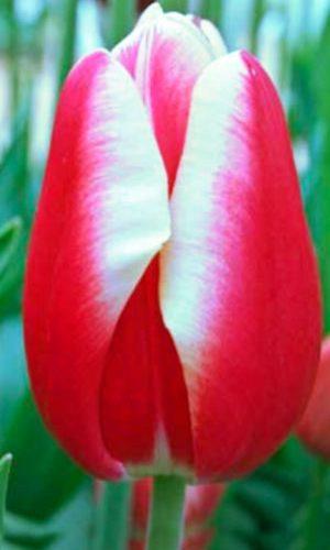 Tulip-Leen-van-der-Mark
