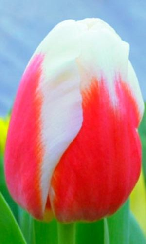 Tulip-Roman-Empire