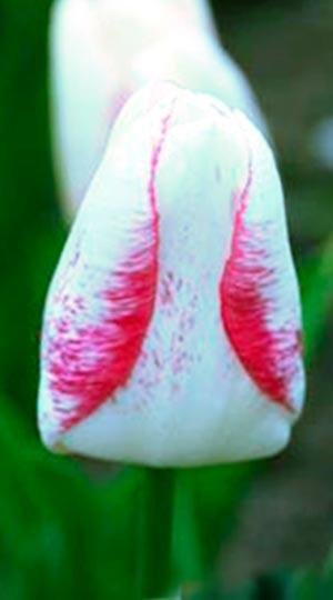 Tulip-Salvo