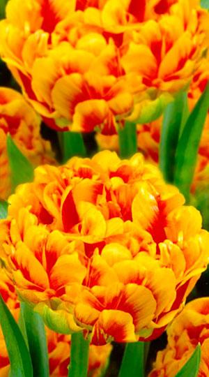 Tulip-Sunlover