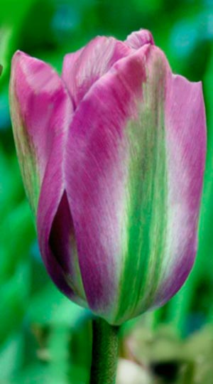 Tulip-Violet-Bird