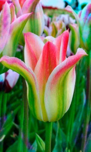 Tulip-Virichic