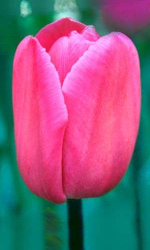 Tulip-barcelona_big