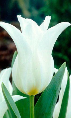 Tulipa-Ballade-White
