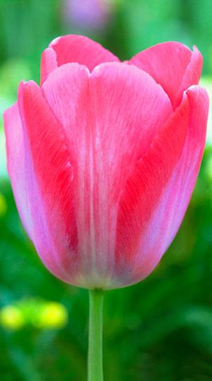 Tulipa-Elizabeth-Arden