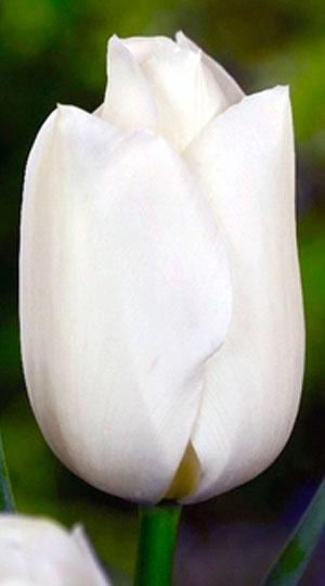 Tulips-Bolroyal-Silver