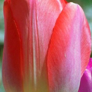 Tulip-Big-Chief