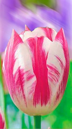 Tulip-Blenda-Flame