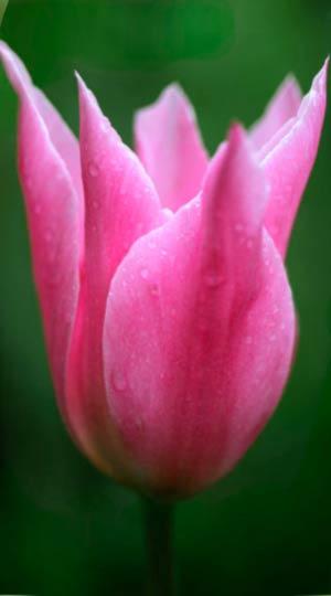 Tulip-China-Pink