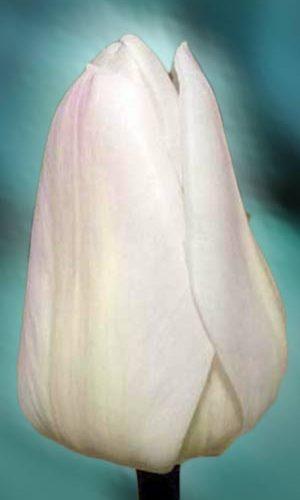 Tulip-Christmas_Sweet
