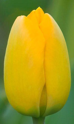 Tulip-Cream-Cocktail