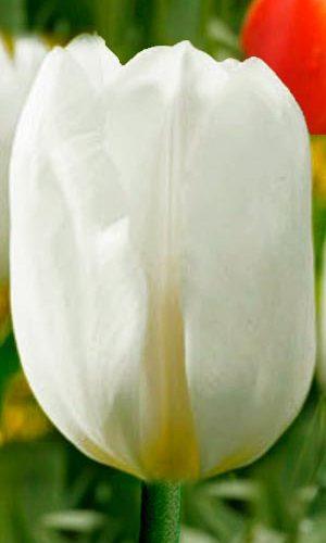 Tulip-Darwisnow