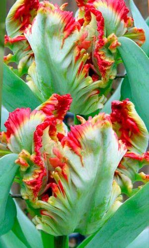 Tulip-Exotic-Parrot