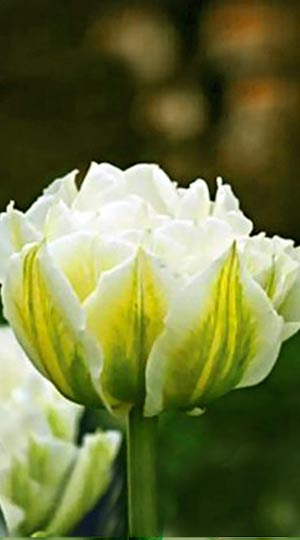 Tulip-Global-Desire