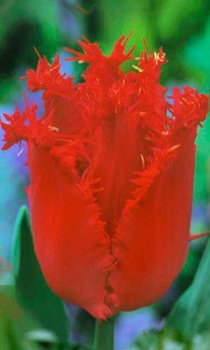Tulip-Hellas