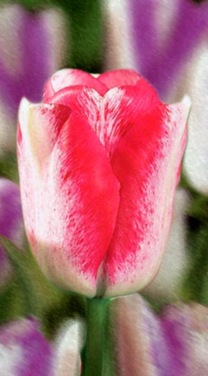 Tulip-Mata-Hari