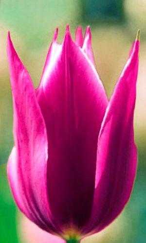 Tulip-Maytime